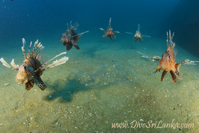 Lionfish of the TRUG