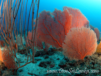 Gale Reef South - Gorgonian Gardens
