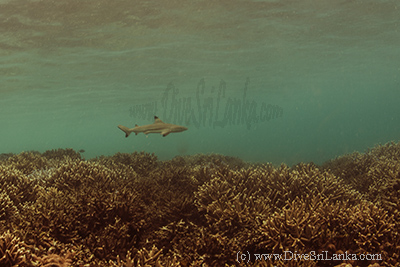 Black Tip Reef Sharks Pigeon Island